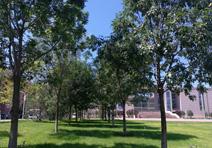 白蜡树,中国科学院大学项目