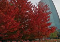 美国红枫,北京市西城区莲花河滨水公园项目