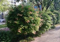 元宝枫球,赤峰市松山区锡泊河公园项目